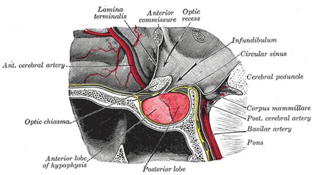 Hypophysis cerebri