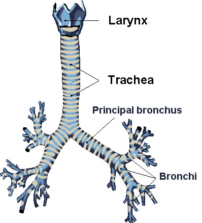 Bronchi principales