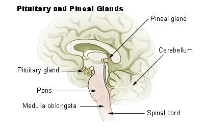 glandula pinealis