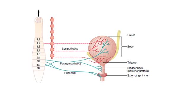Fiziologija mokrenja