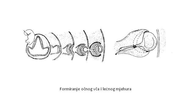 Embrionalni razvoj oka