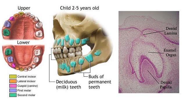 Razvoj zuba