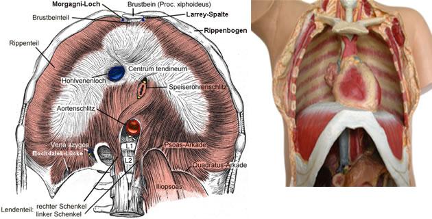 Diaphragma