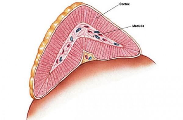 Nadbubrežna žlijezda