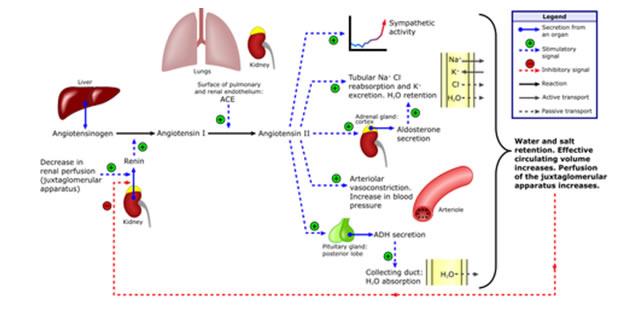 Renin-angiotenzin sistem