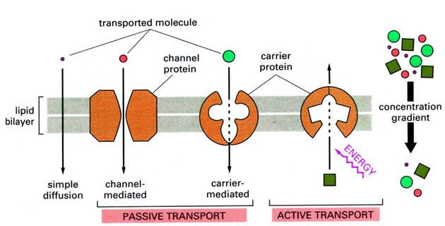 Transport kroz ćelijsku membranu
