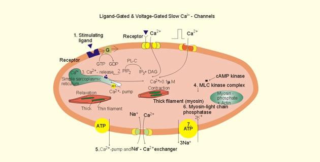 Mehanizam kontrakcije glatkog mišića