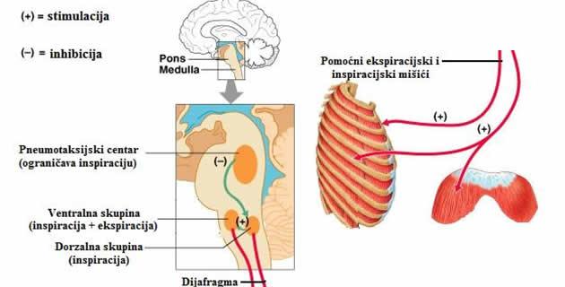 Nervna regulacija disanja