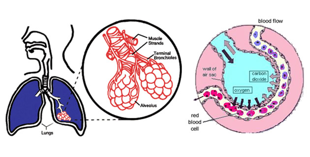 Respiratorna membrana