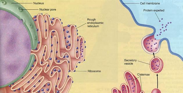 Endoplazmatski retikulum