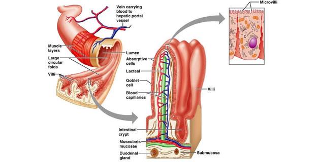 Crijevni sok