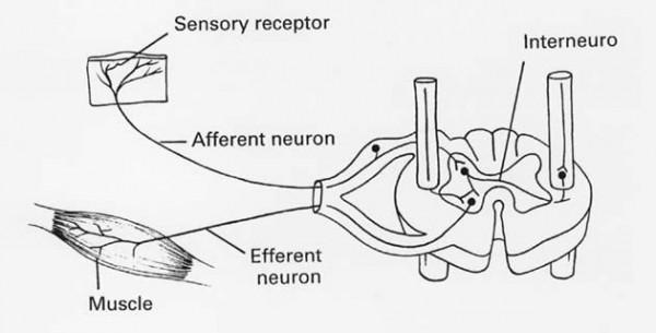 Spinalni refleksi