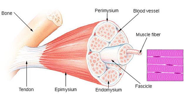 Skeletni mišić