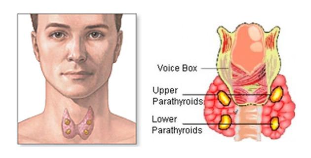 paratireoidne žlijezde