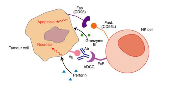 NK ćelija