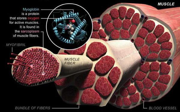 Mioglobin