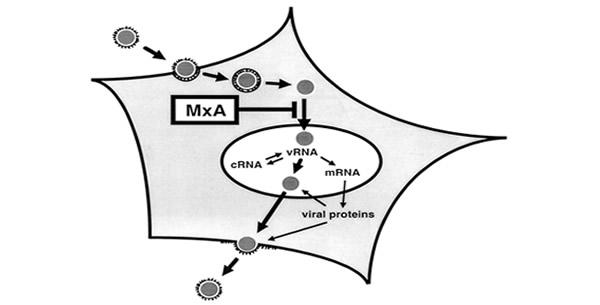 Antivirusni efekat interferona