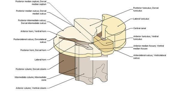 Spinalni funikuli