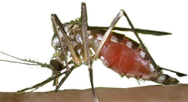 Aedes triseratus